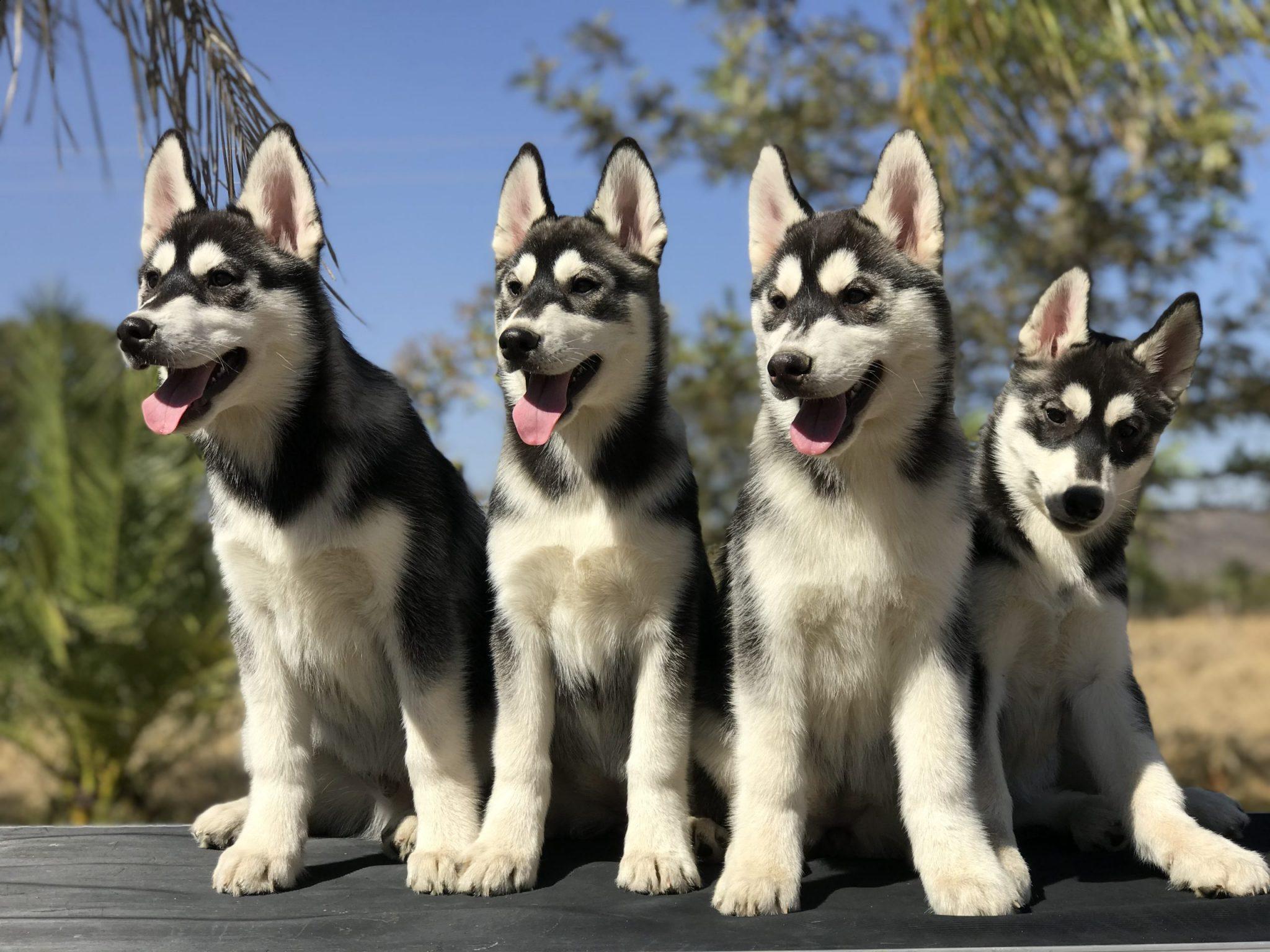 Venta de cachorros Husky manto negro