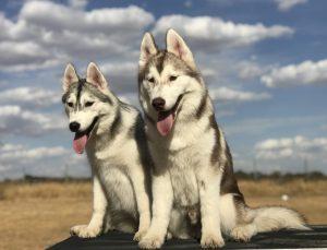 Cachorros Husky Siberiano con Pedigree