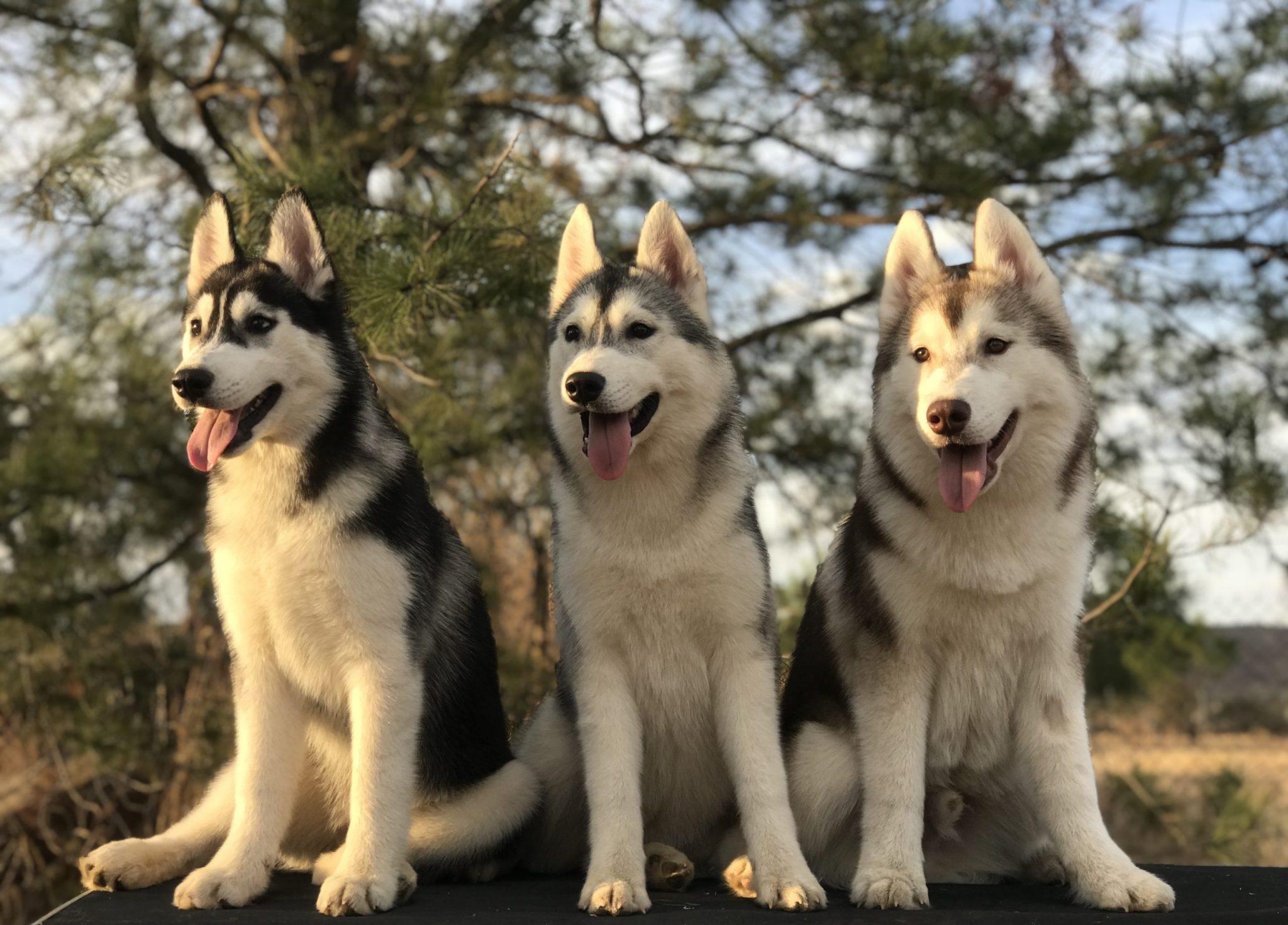 Venta de perros Husky Siberiano
