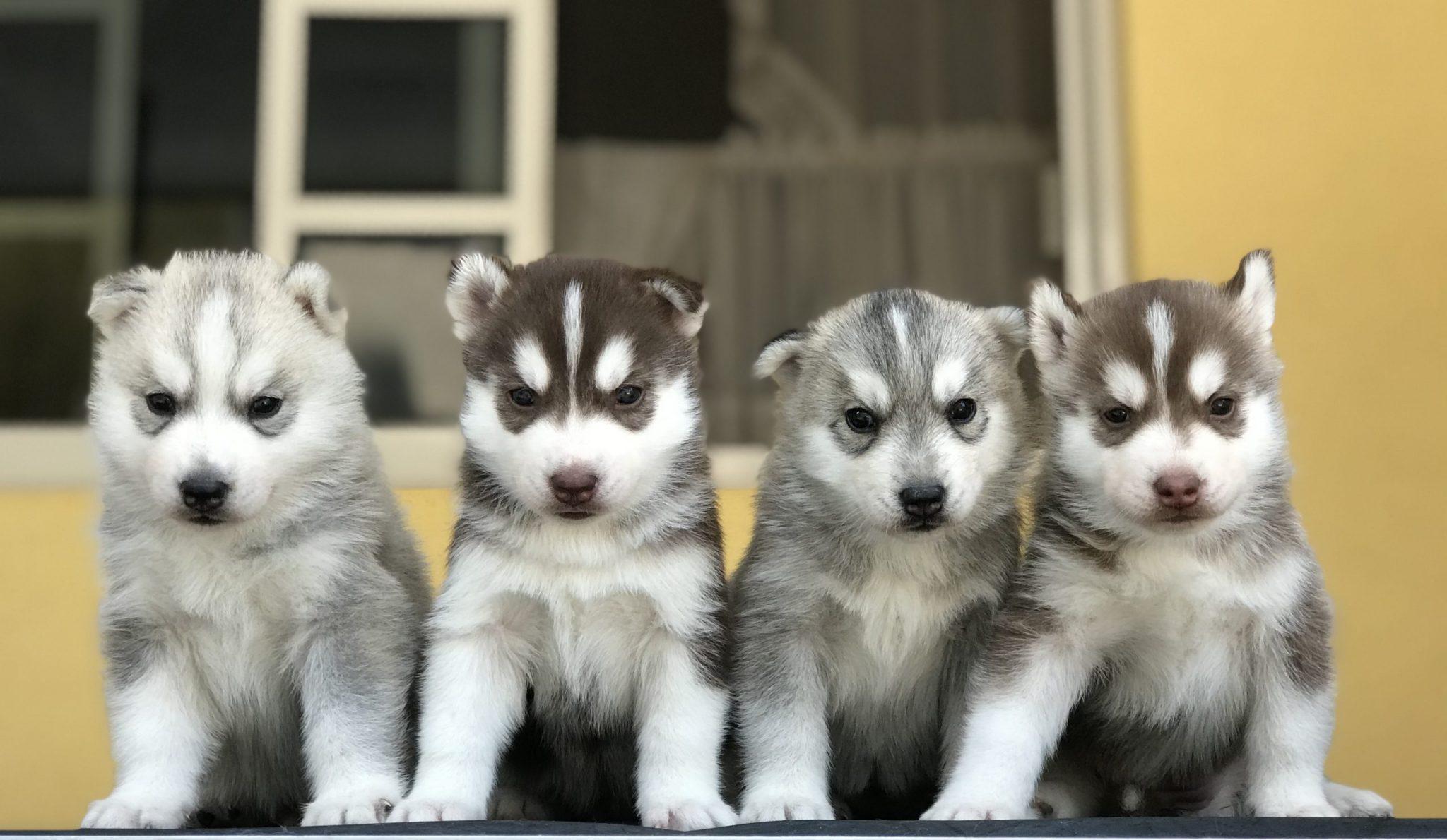 Venta de cachorros husky siberiano