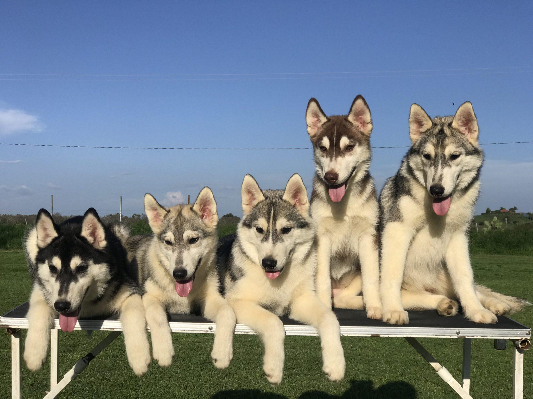 Criadero de Husky Siberiano venta de cachorros